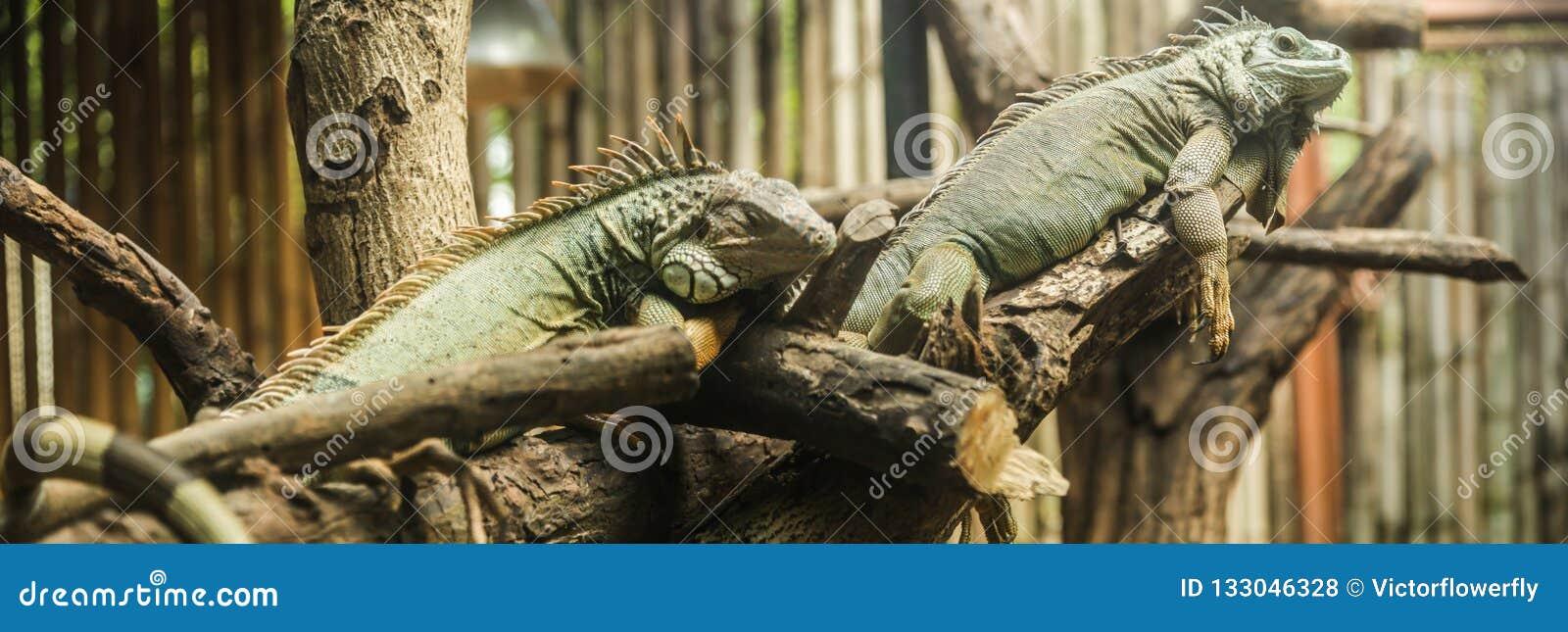 Zielona iguany iguany iguana, także znać jako Amerykańska iguana, jest wielka, nadrzewny, jaszczurka Znajdujący w niewoli jako zw