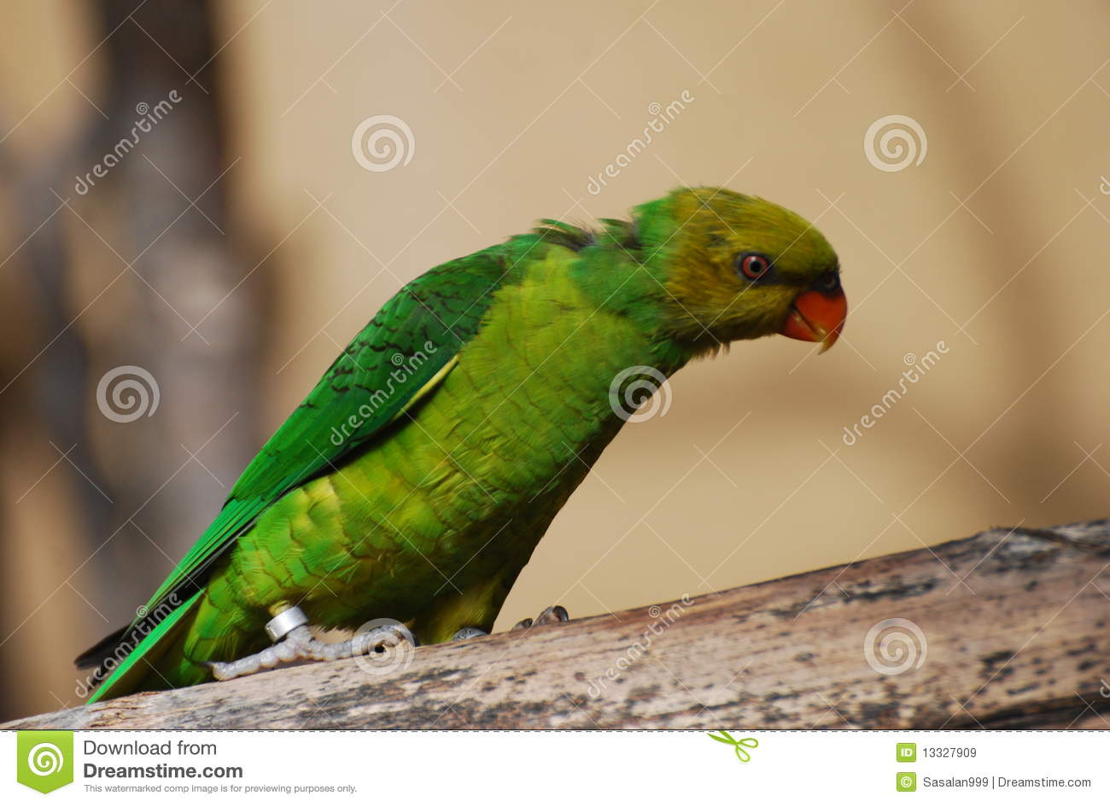 Zielona papuga