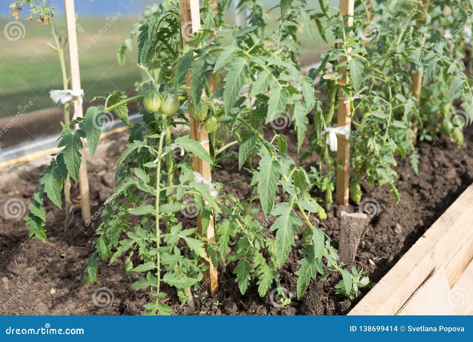 Zielona pomidorowa rozsada r na ogrodowym łóżku w szklarni