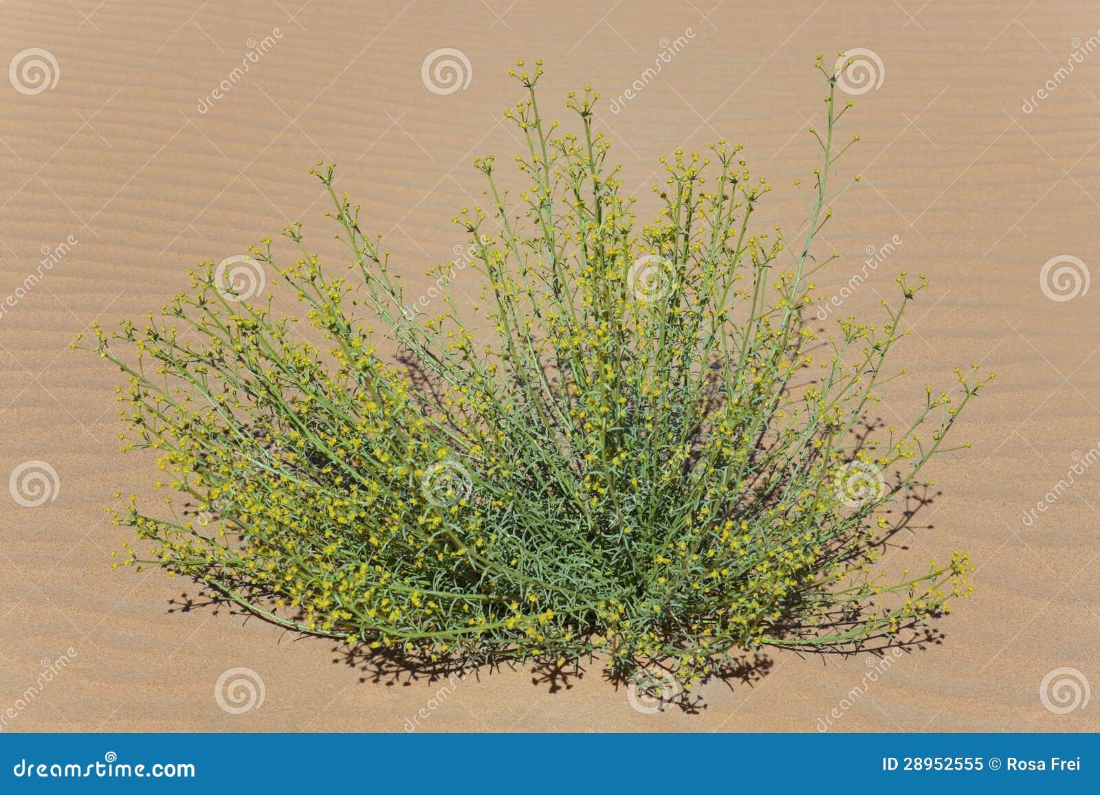 Zielona roślina z malutkim kolor żółty kwitnie w pustynnym piasku.