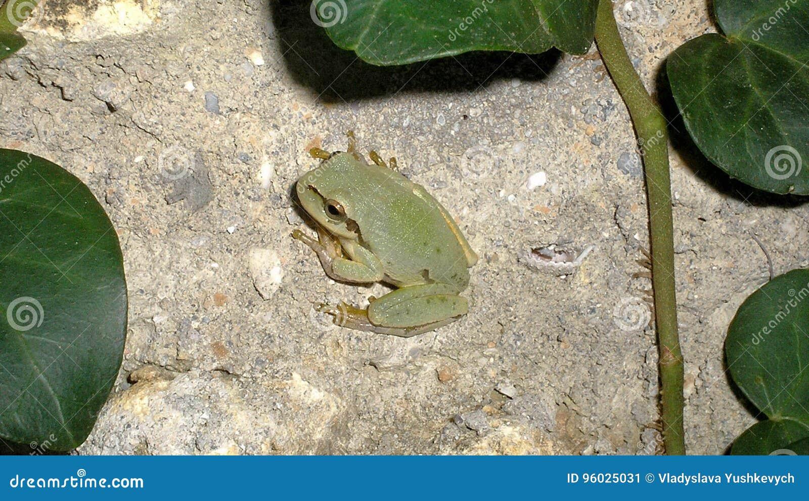 Zielona ropucha
