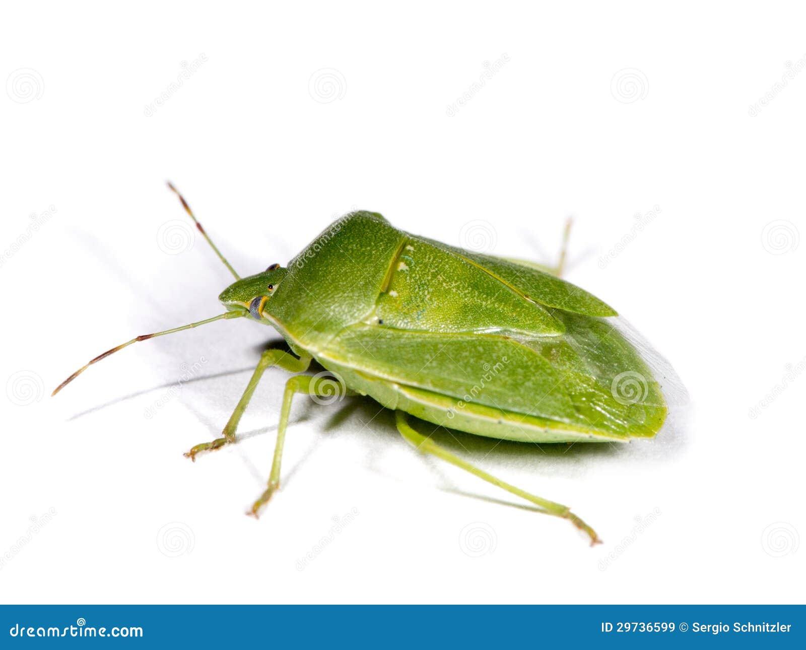 Zielona smród pluskwa