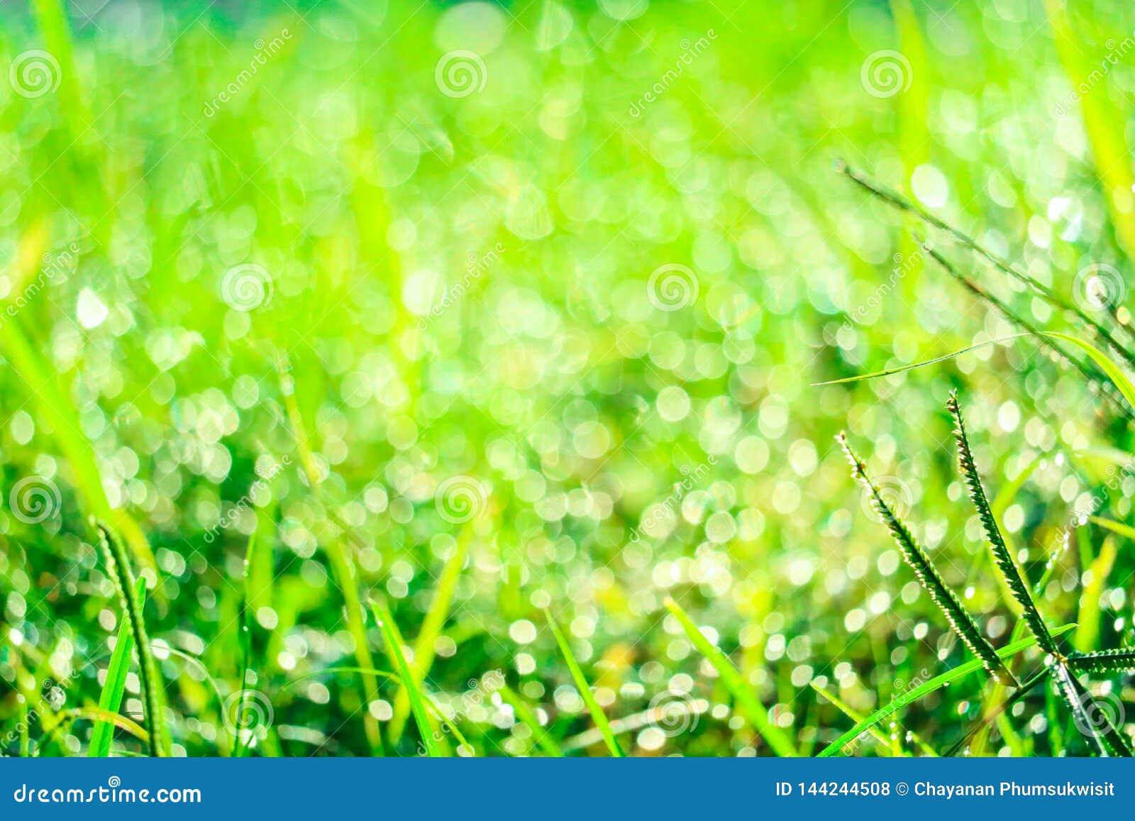 Zielona trawa w ogródzie i plama woda opuszczamy na liściach w ranku