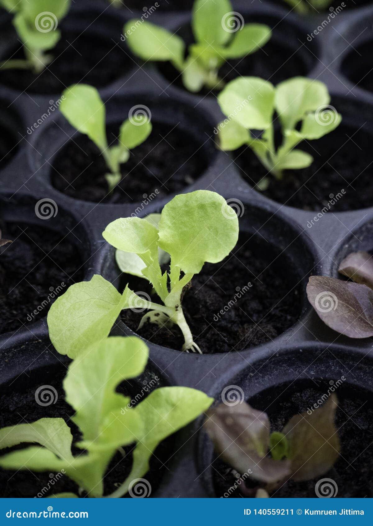 Zielone i czerwone sałat rozsady ogrodnicza pepiniera