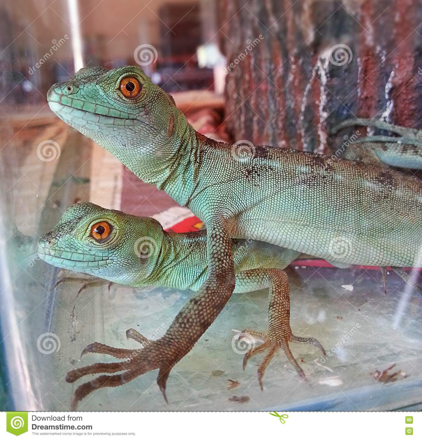 Zielone jaszczurki Męskie i Żeńskie