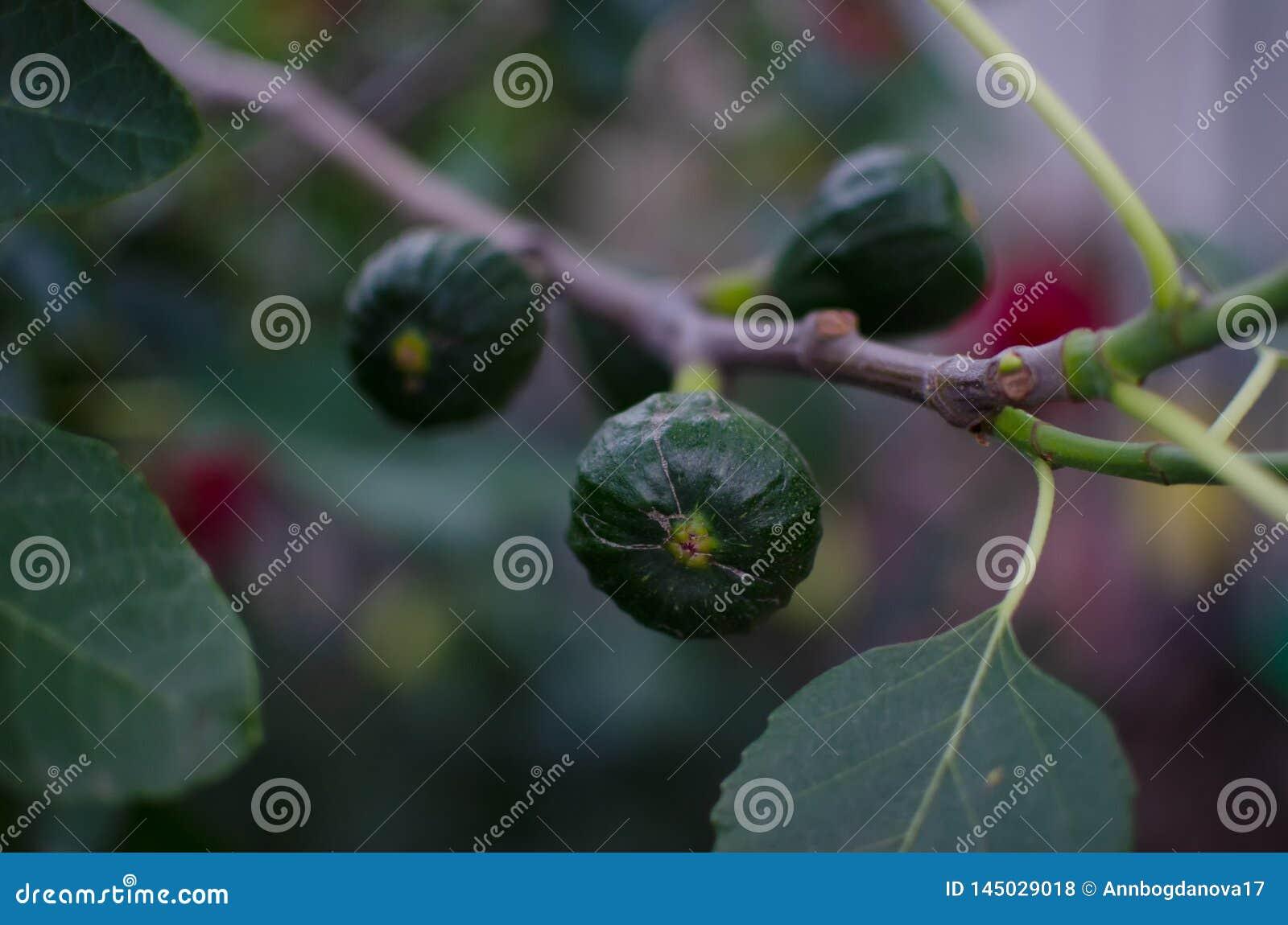 Zielone niewyrobione figi na gałąź