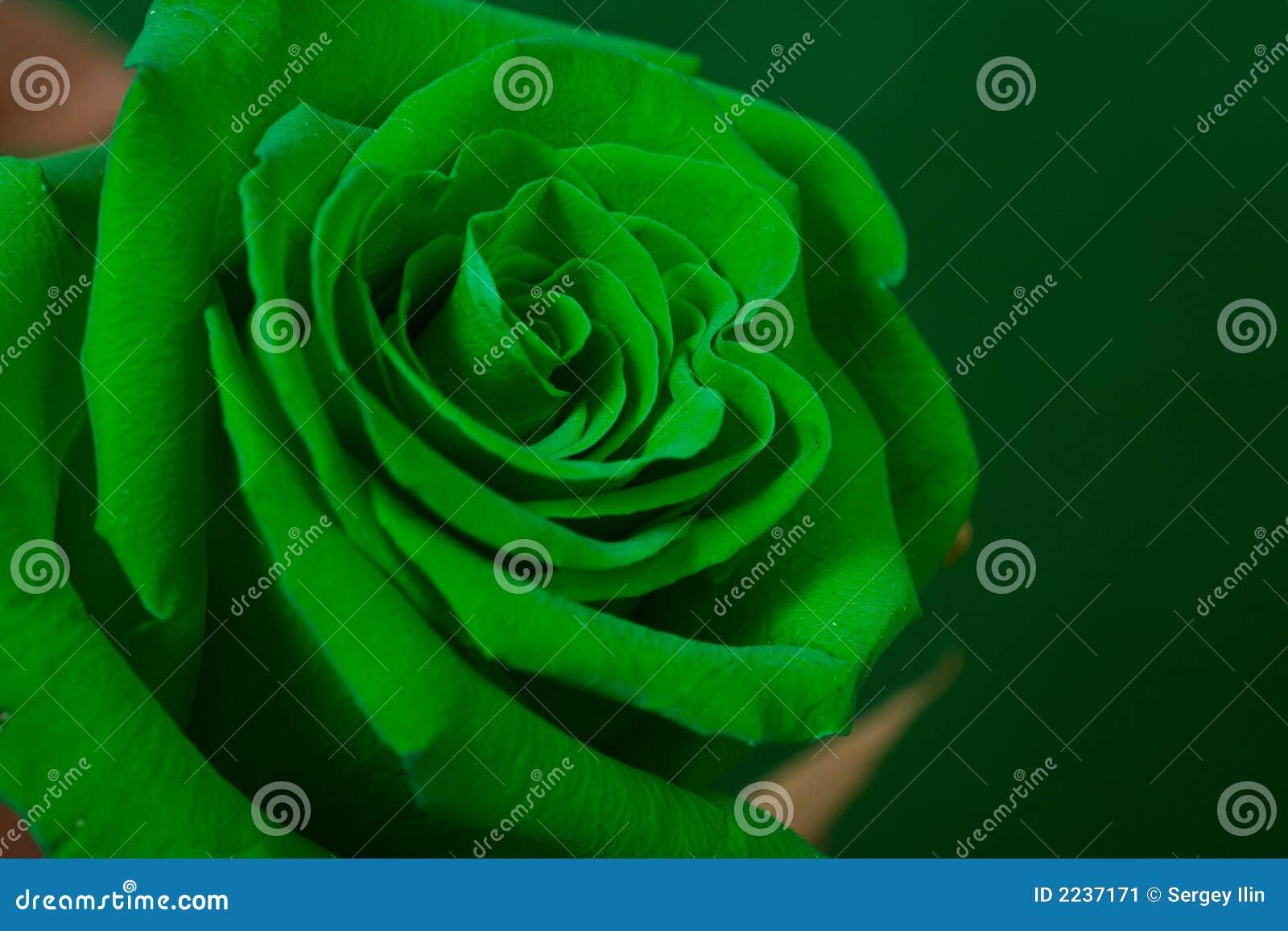 Zielone pączkowa rose