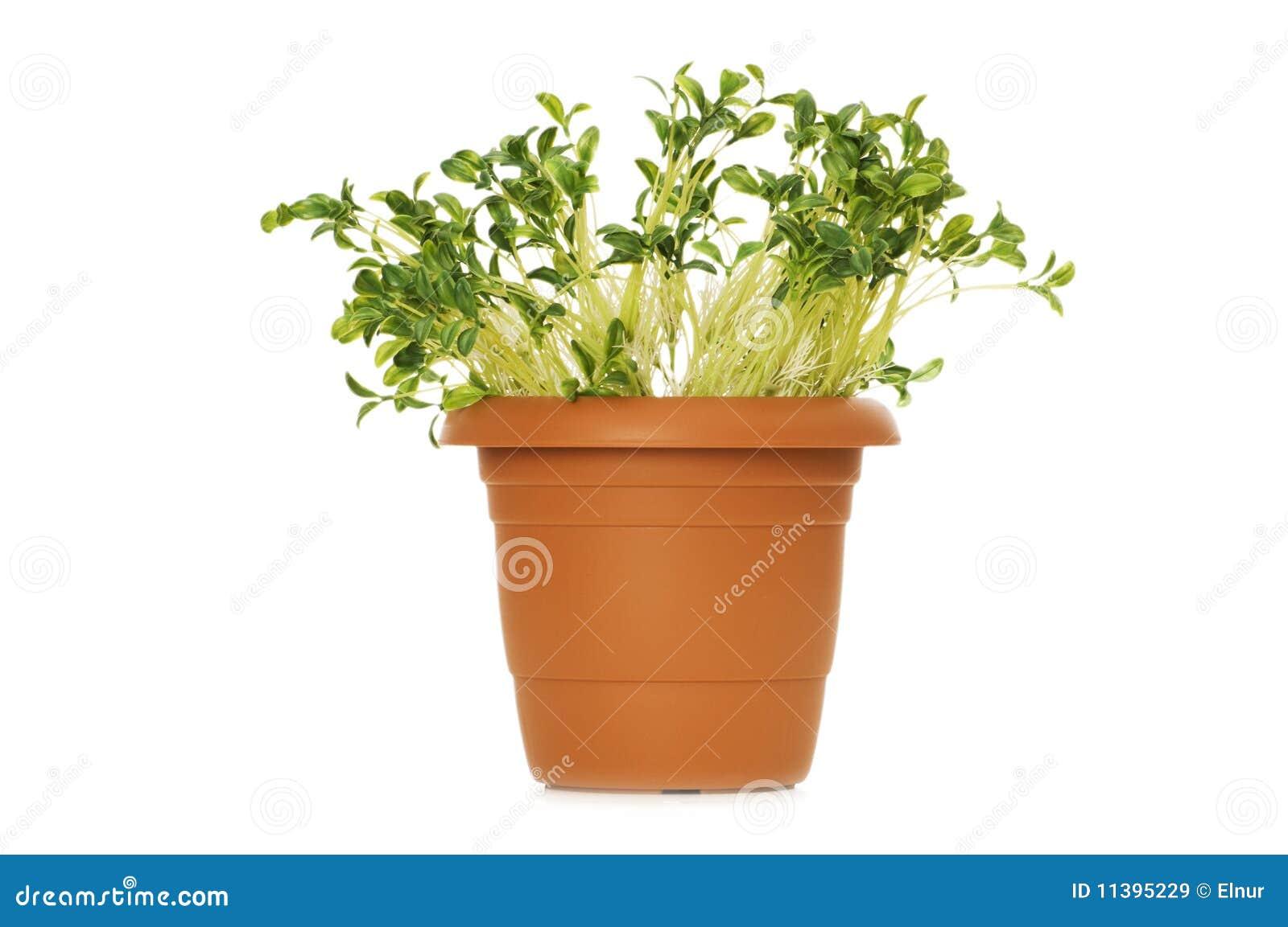 Zielone rozsady
