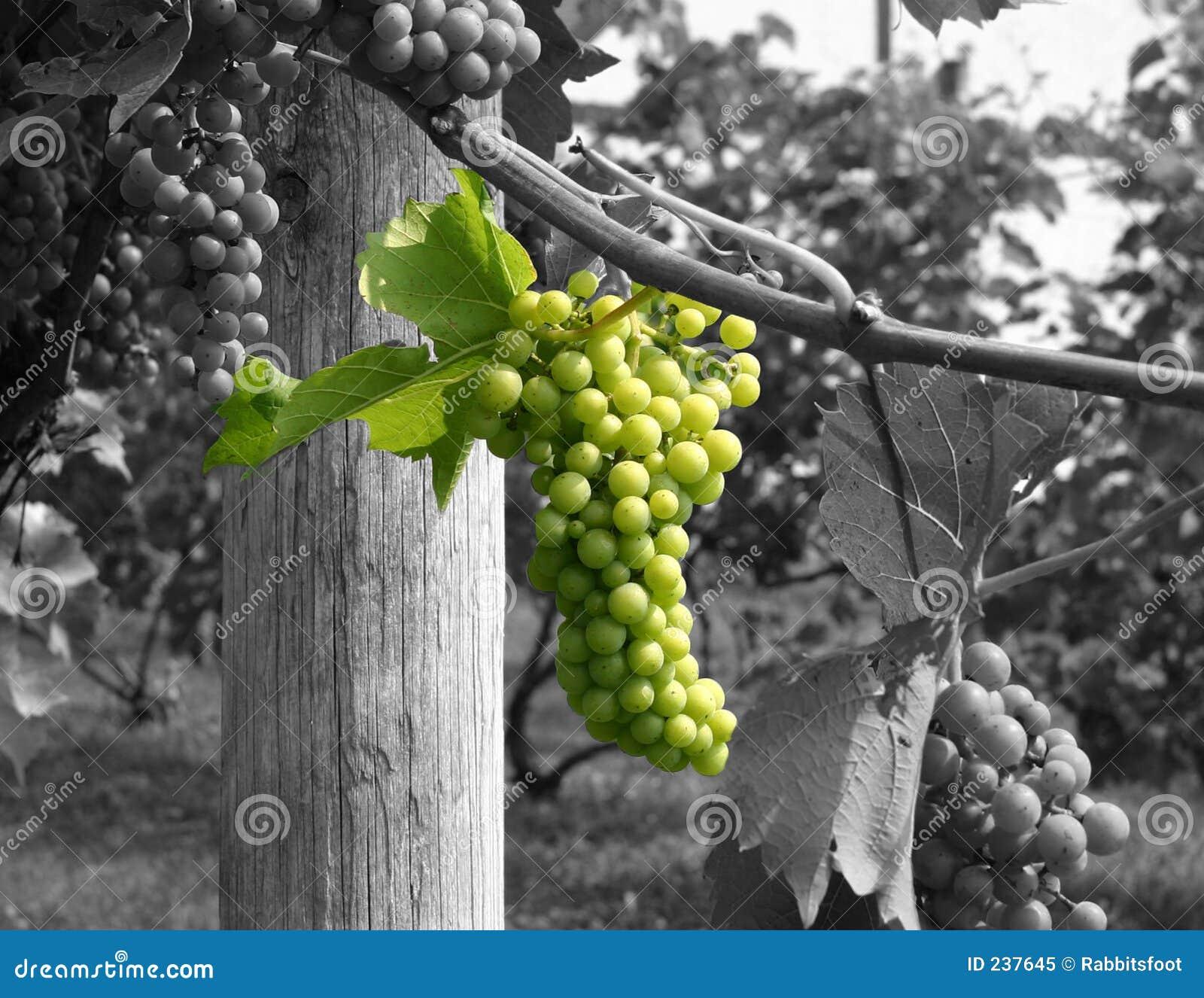 Zielone wina winogrona