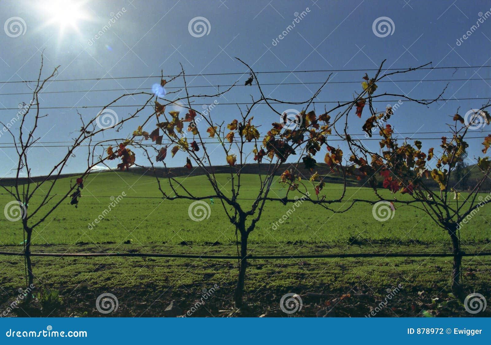Zielone winorośli