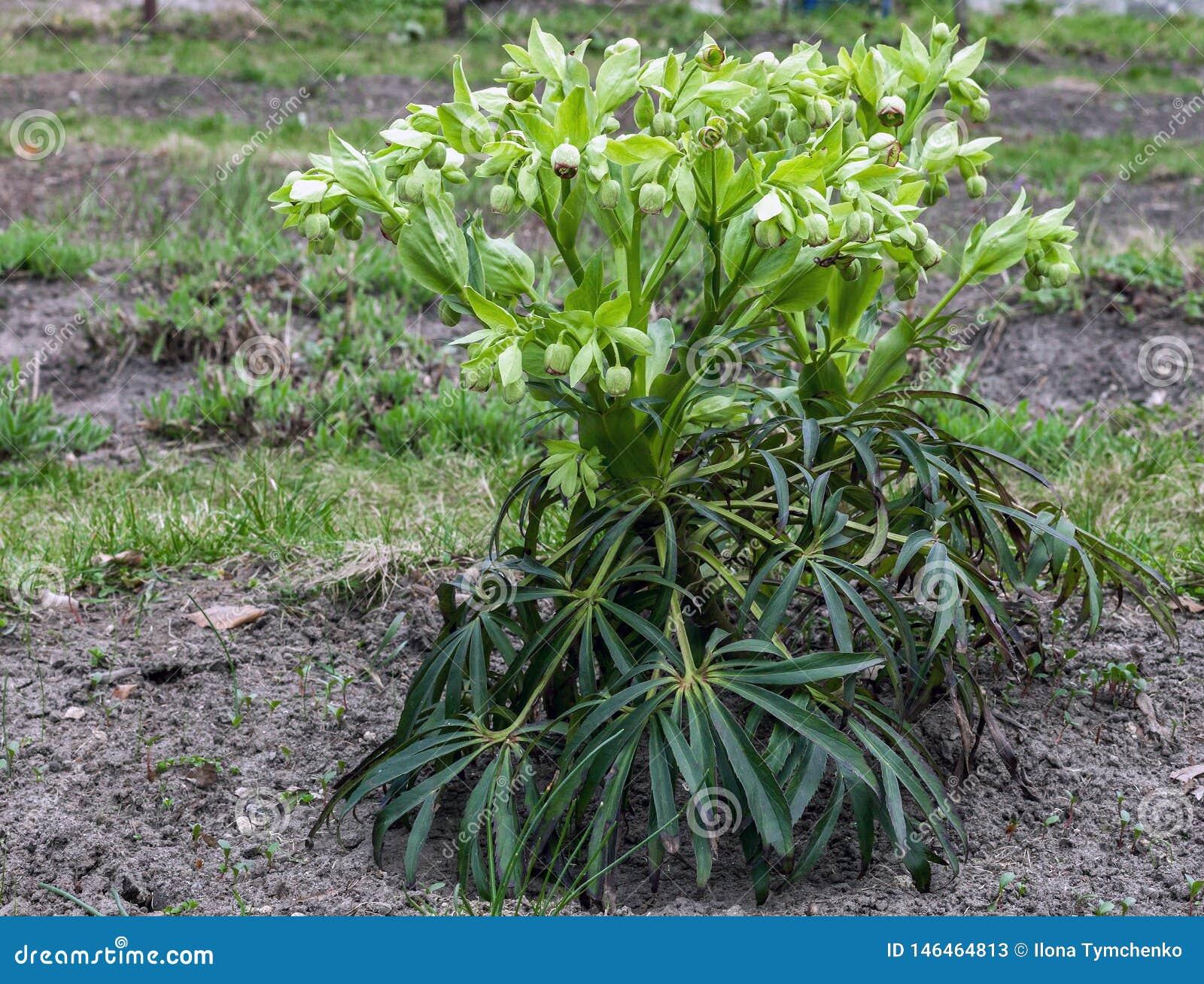 Zielonego ciemiernika kwiaty w wiosna ogródzie