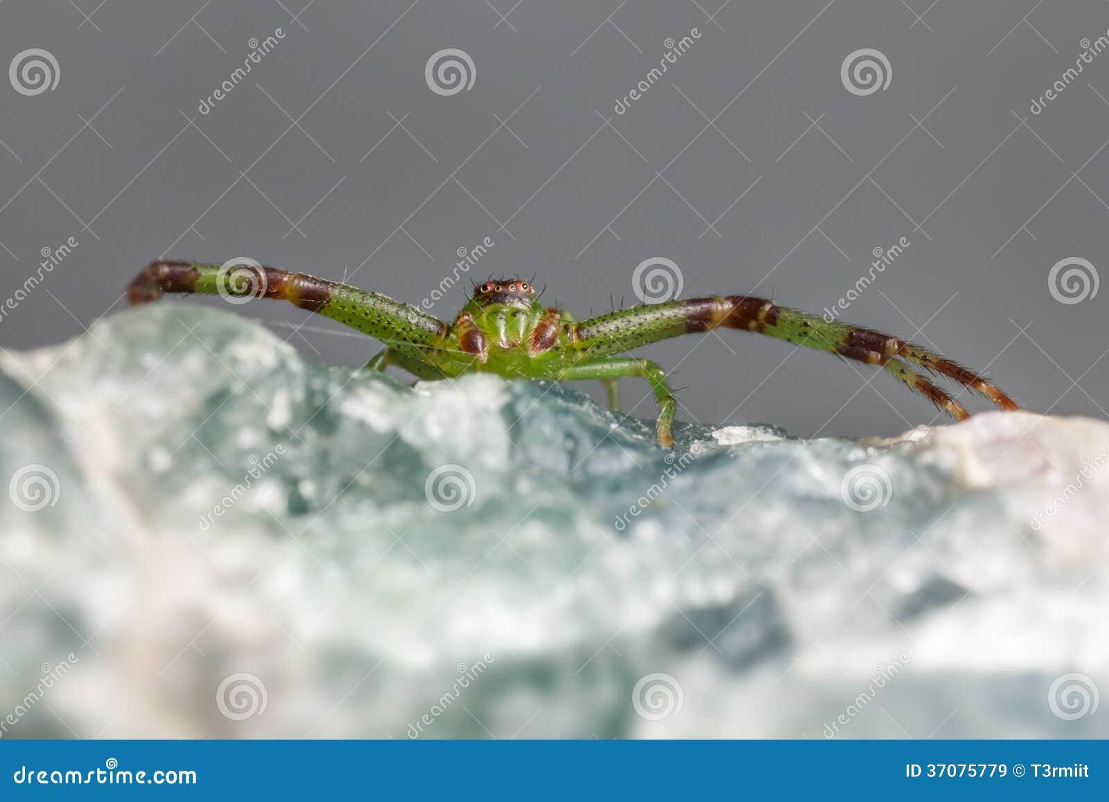 Download Zielonego Kraba Pająk, Diaea Dorsata Obraz Stock - Obraz złożonej z szczegółowy, darmozjad: 37075779