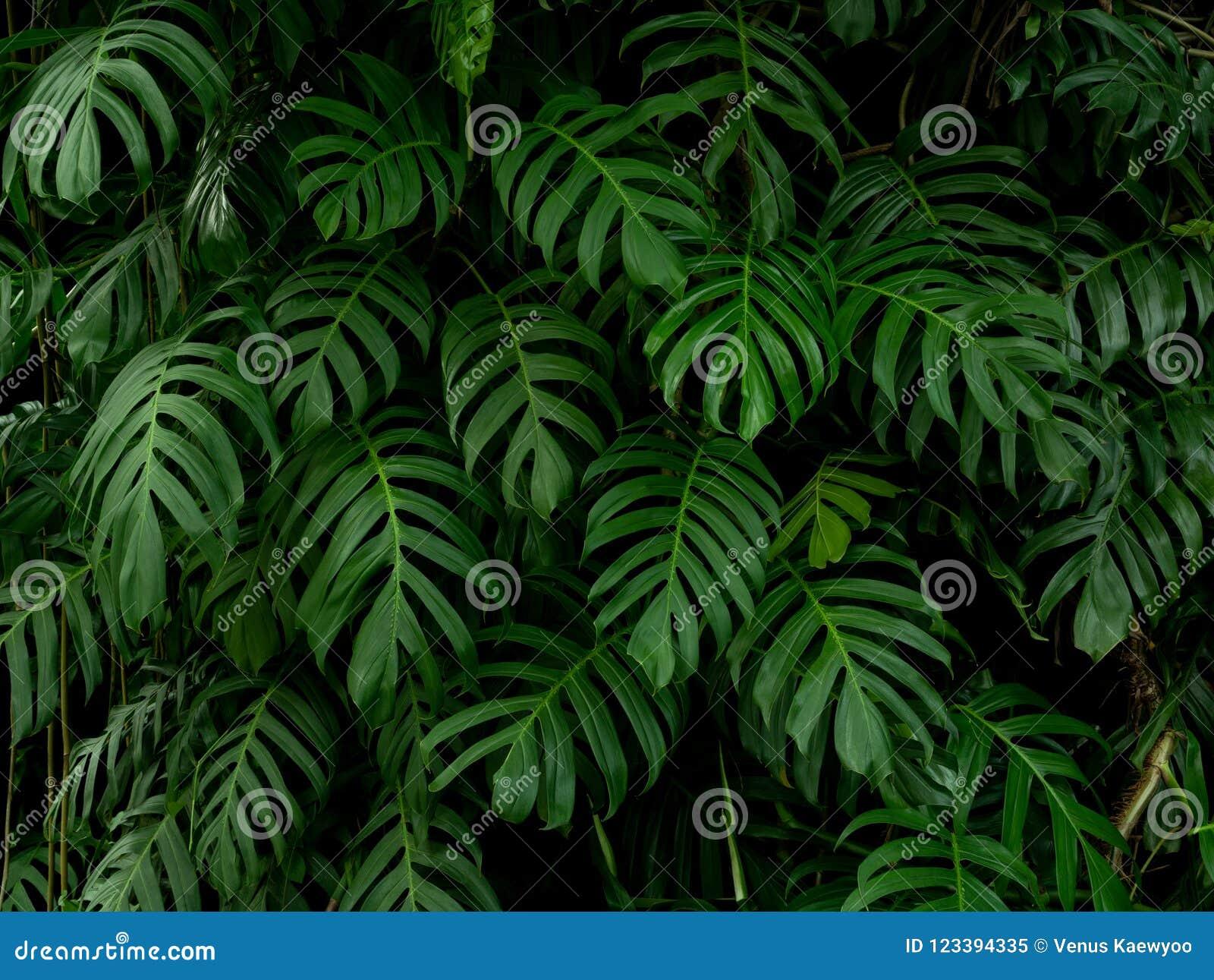 Zielonego monstera filodendronu tropikalna roślina opuszcza winogradu tło, tło