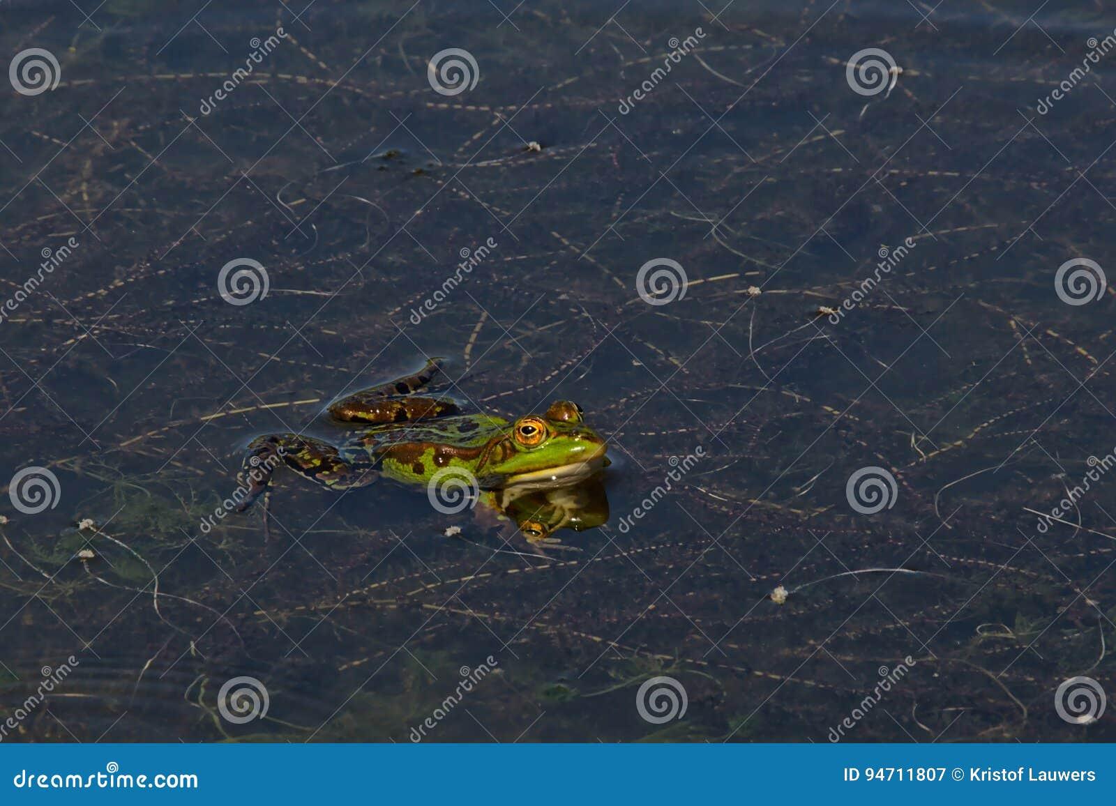 Zielonej żaby dopłynięcie w stawie - Anura
