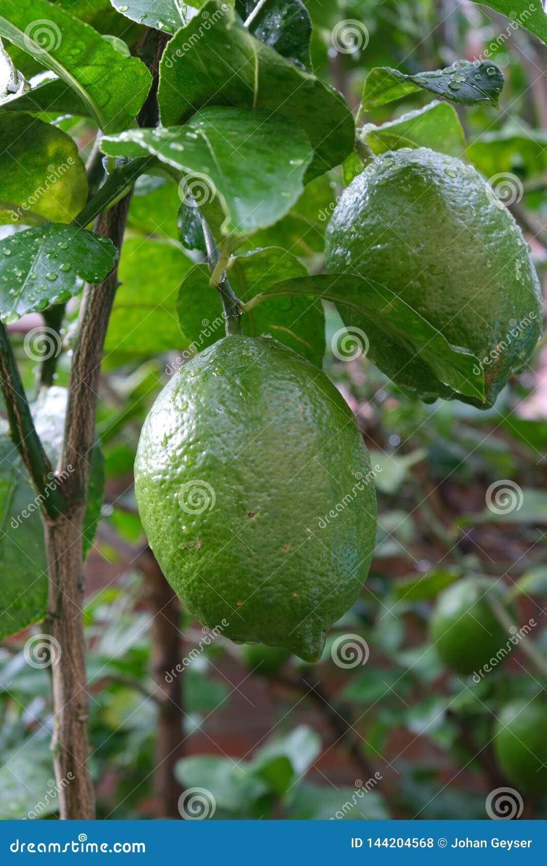 Zielonej cytryny owocowy dojrzenie w drzewie w cytrusa gospodarstwie rolnym