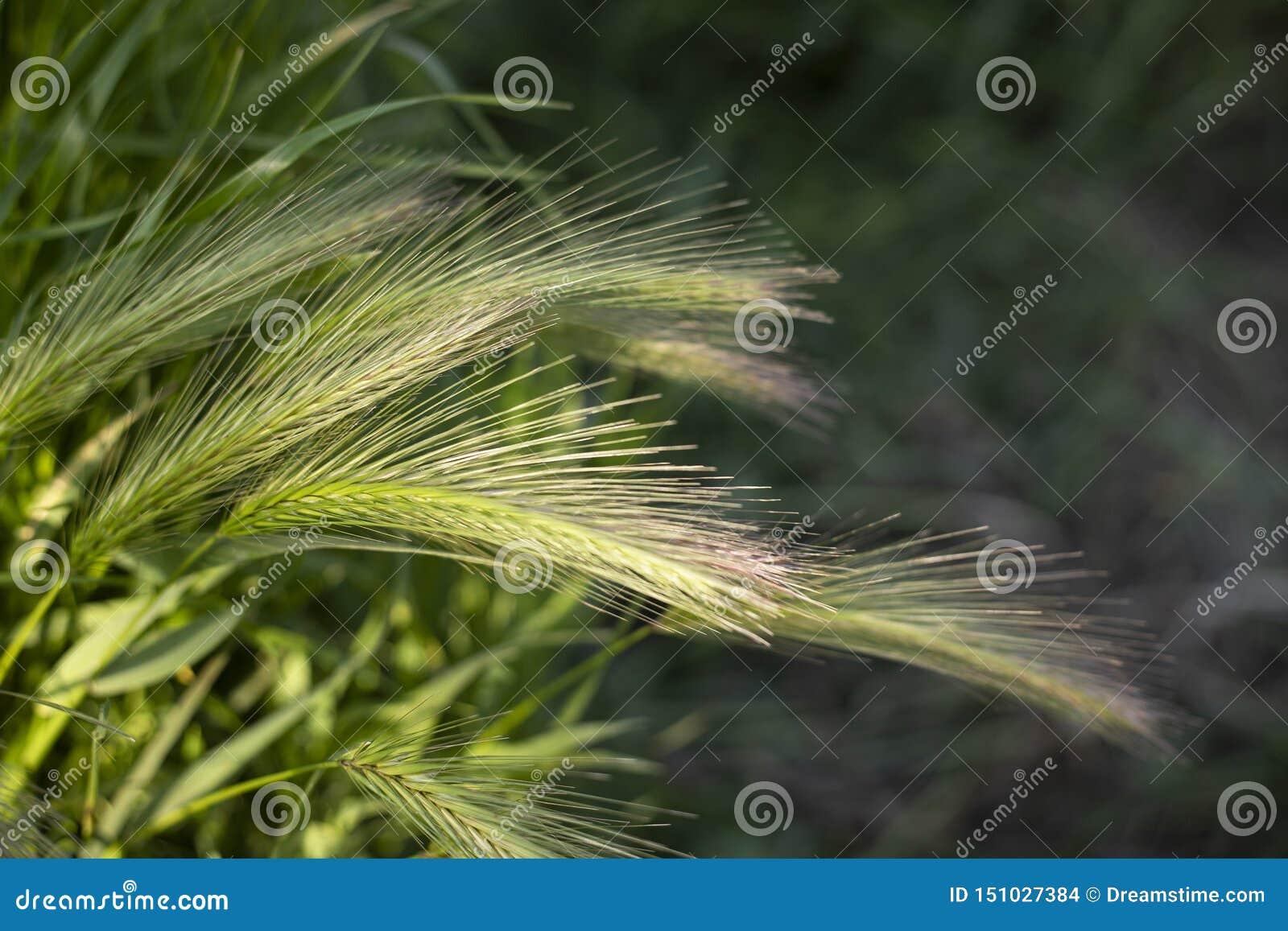 Zielonej trawy natury pszeniczny dziki tło