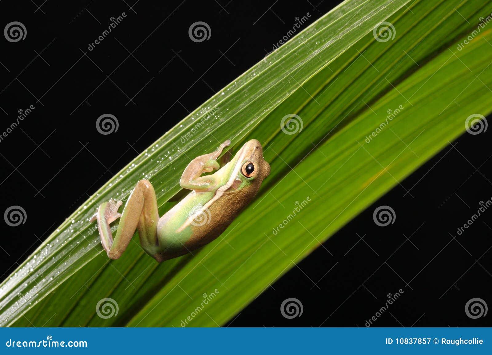 Zielony żaby drzewo