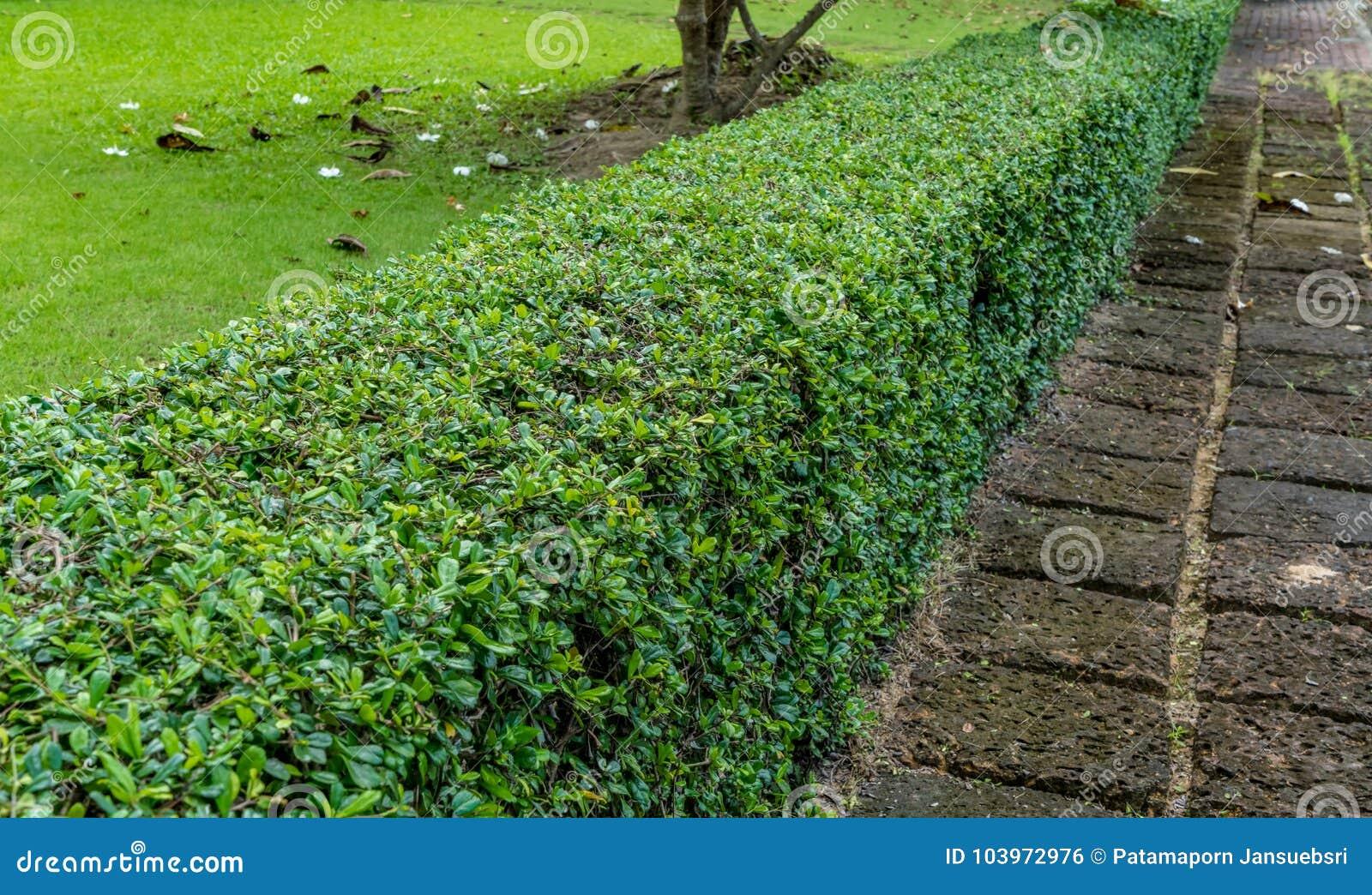 Zielony żywopłotu ogrodzenie