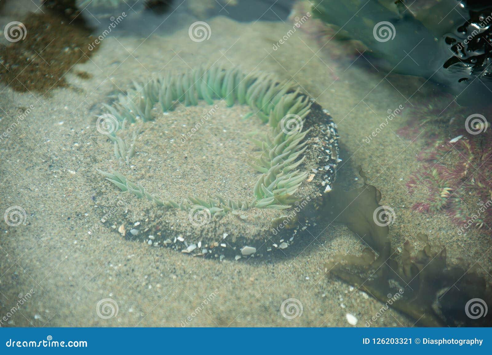 Zielony anemon w płytkim pływowym basenie