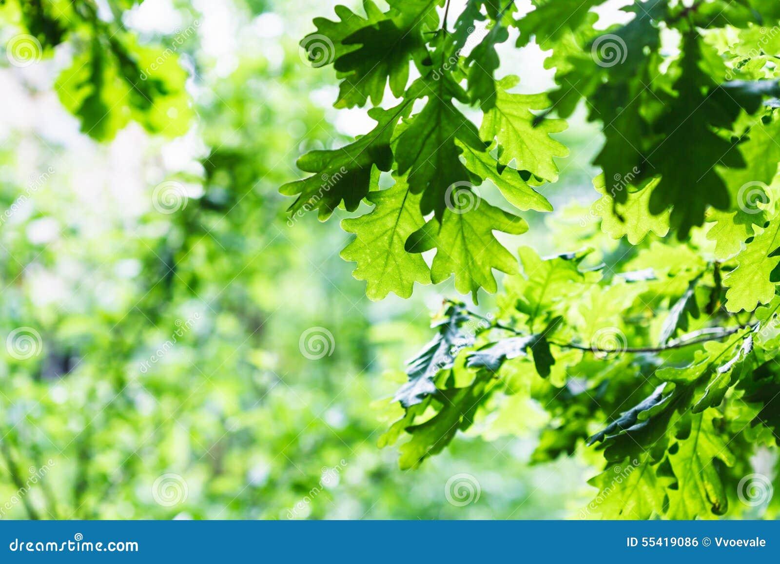 Zielony dębowy ulistnienie w lato deszczowym dniu