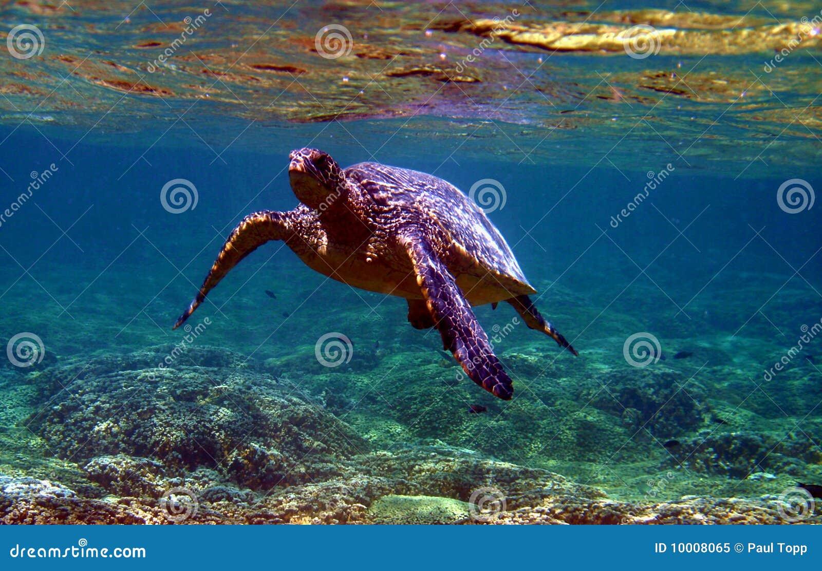 Zielony dennego żółwia underwater