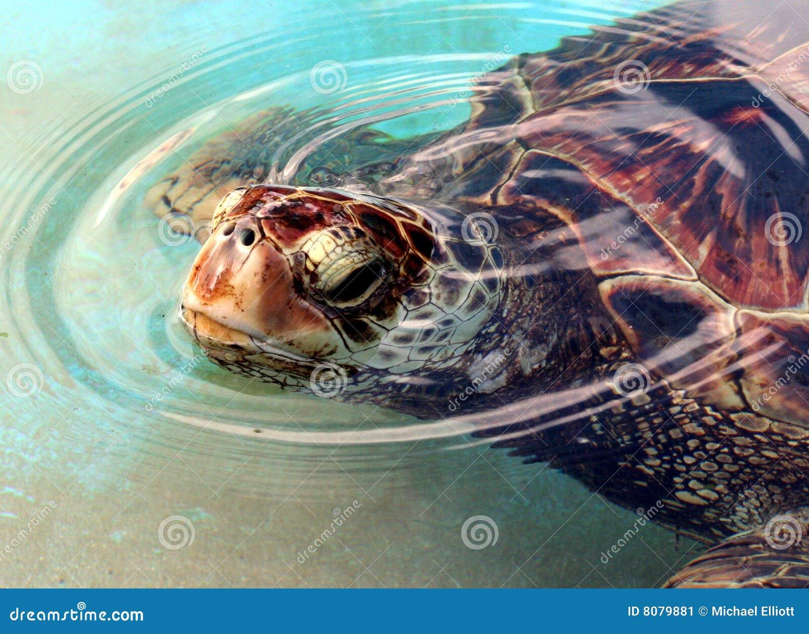 Zielony denny żółw