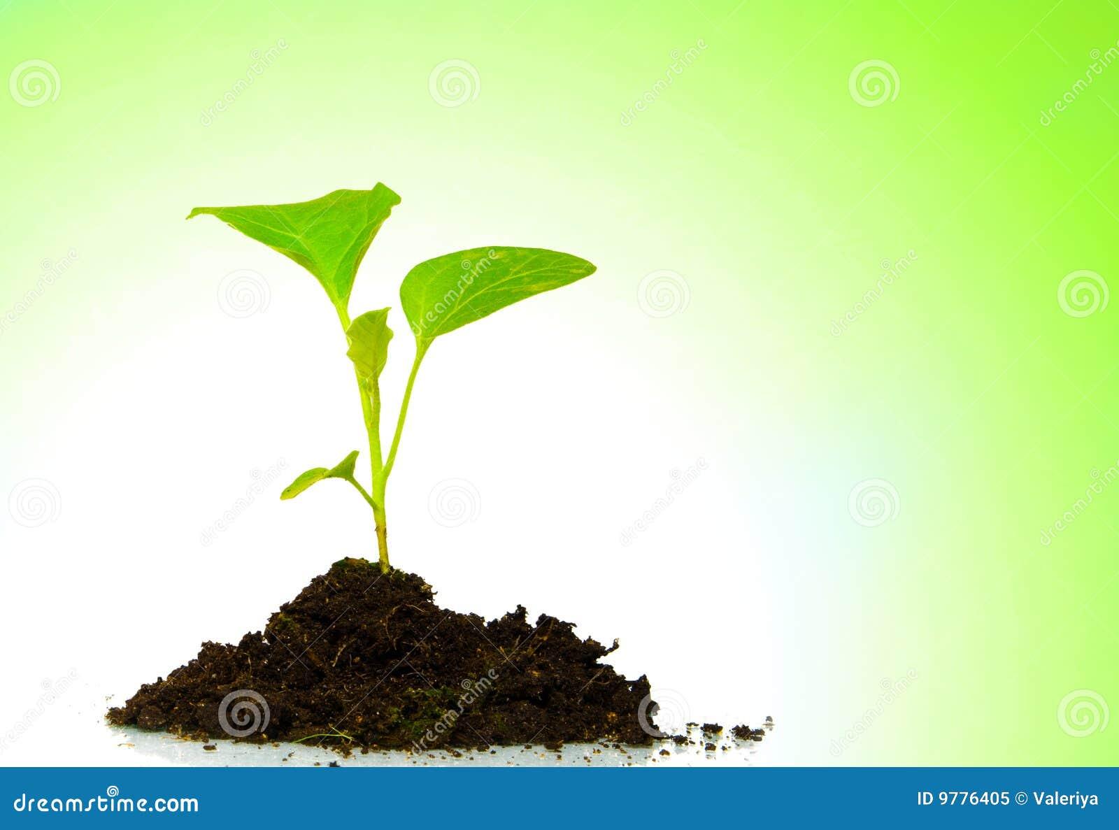 Zielony dorośnięcie odizolowywająca roślina
