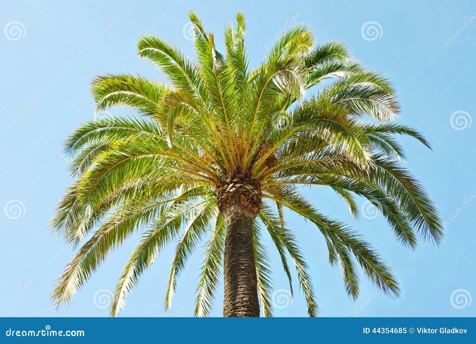 Zielony drzewko palmowe
