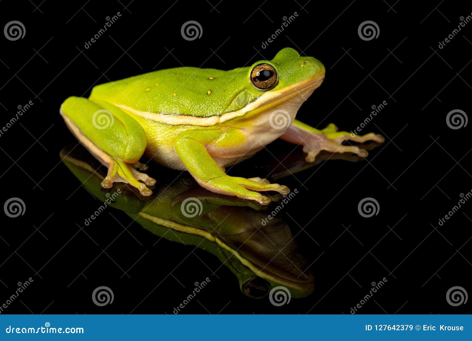 Zielony Drzewnej żaby studia portret