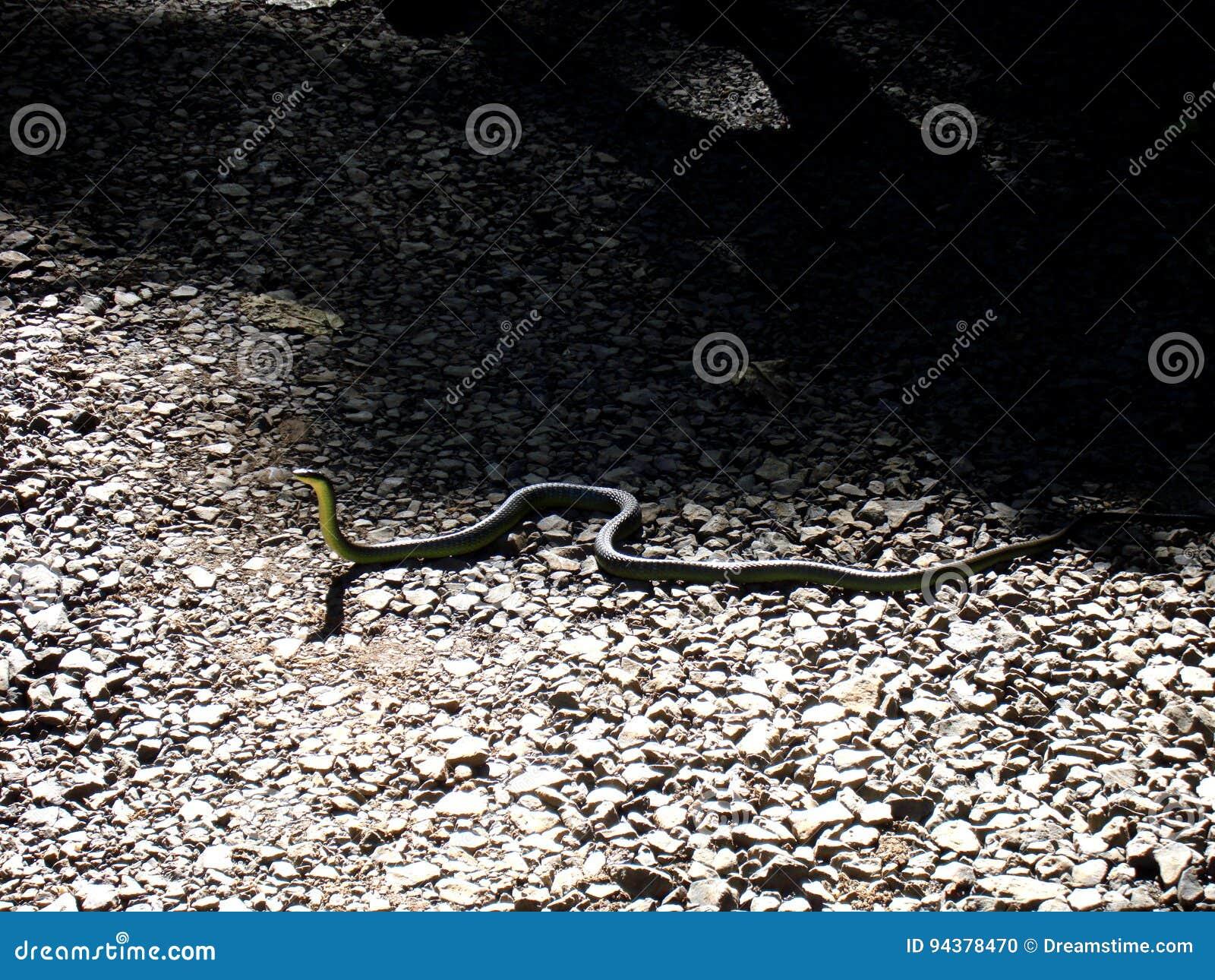 Zielony drzewny wąż Australia