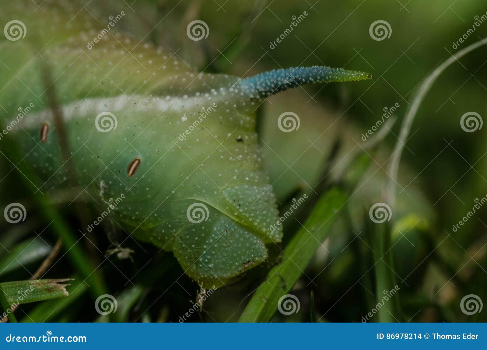 Zielony gąsienicowy szczegół