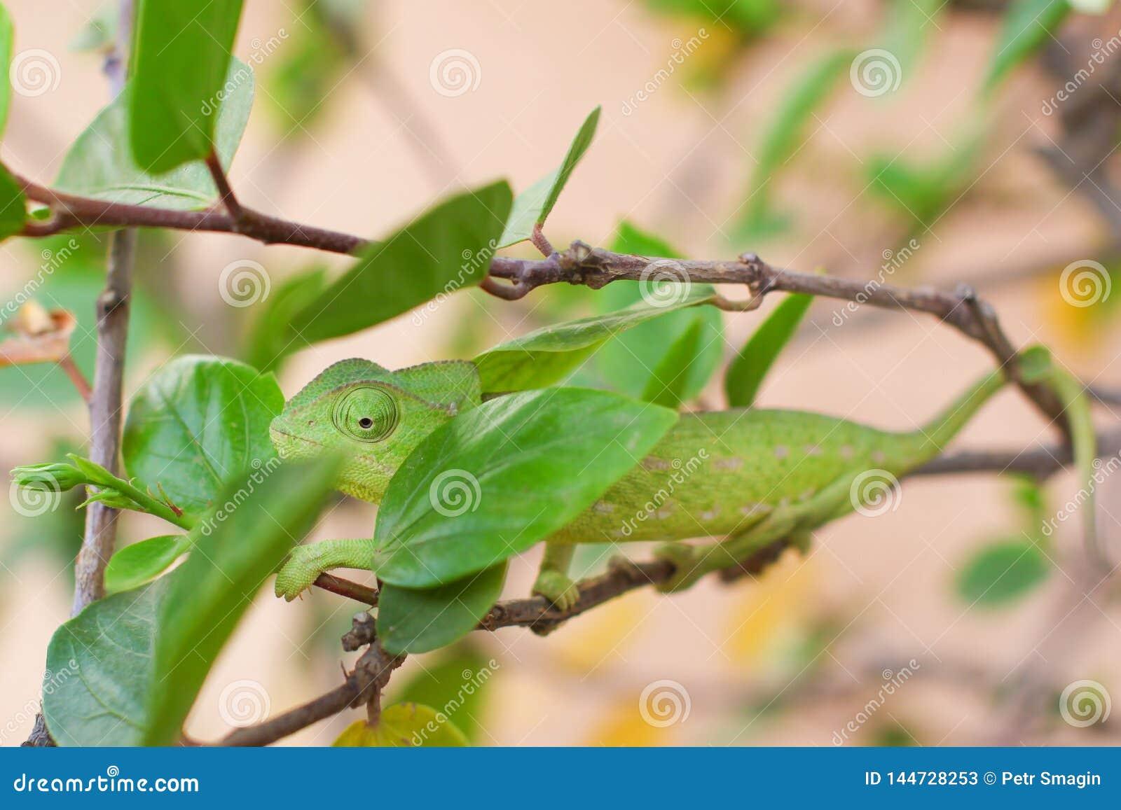 Zielony kameleonu czołganie na gałąź krzak z zielenią opuszcza na naturze
