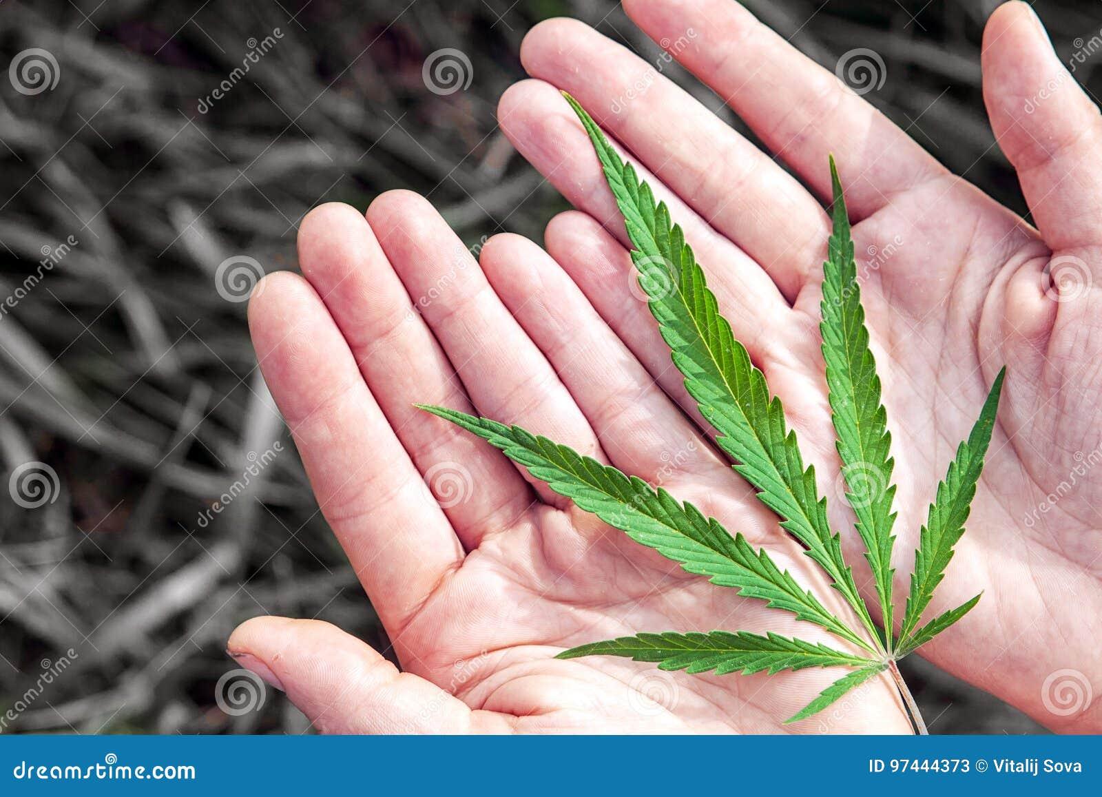 Zielony konopie s na rękach