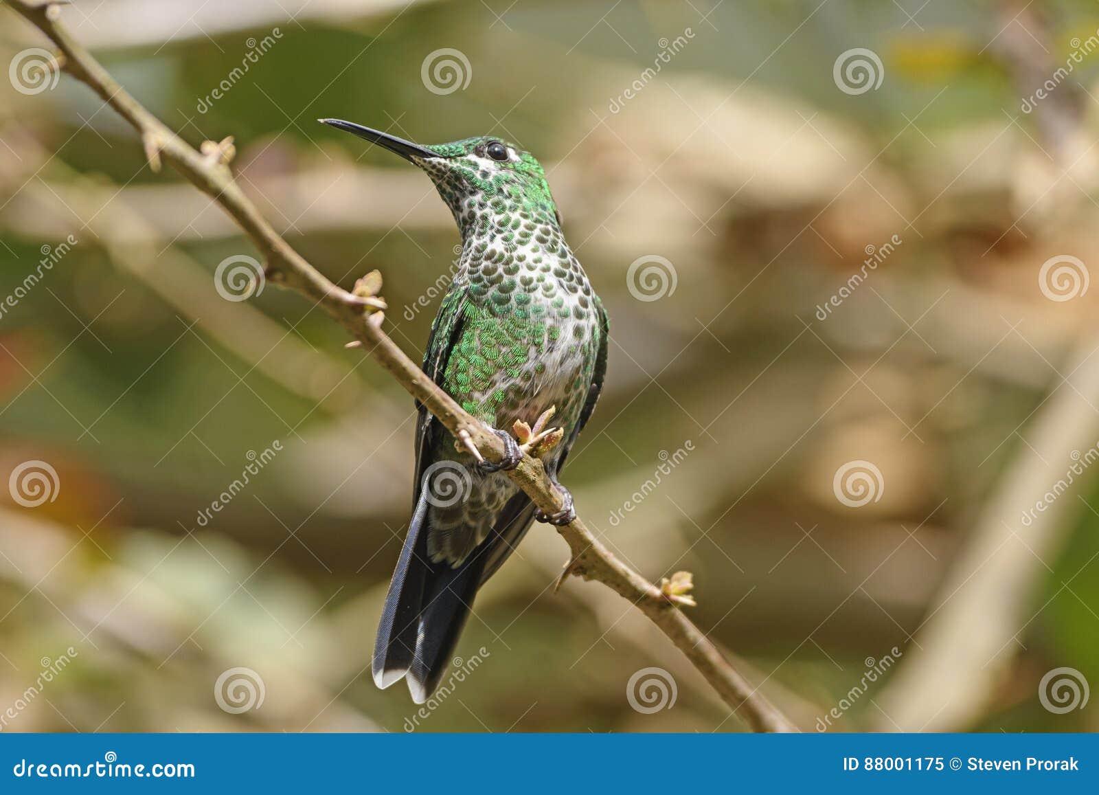 Zielony Koronowany Genialny Hummingbird