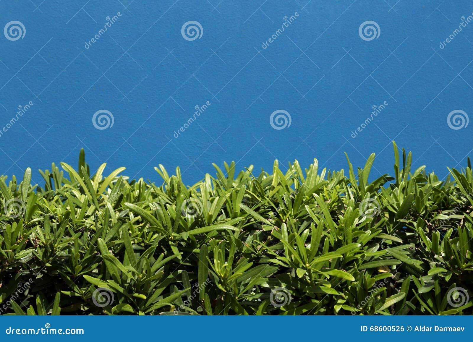 Zielony krzak na błękit ścianie