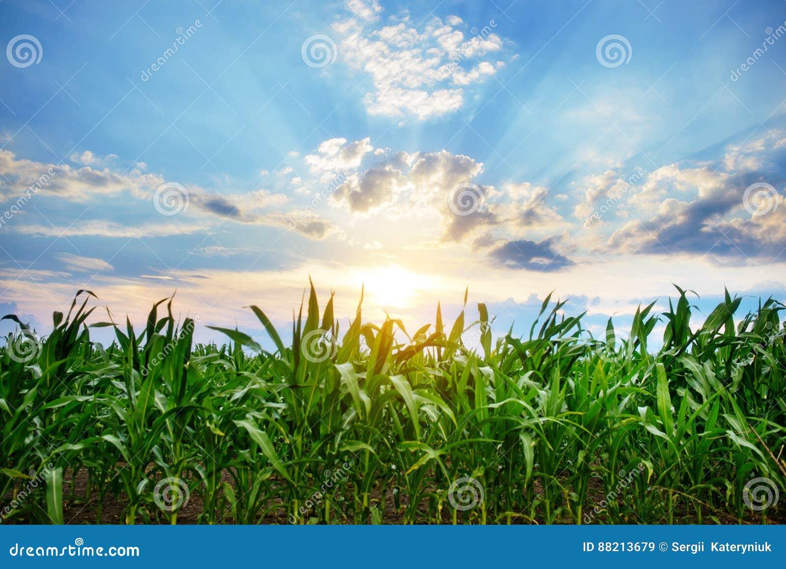 Zielony kukurydzany pole, niebieskie niebo i słońce na letnim dniu,