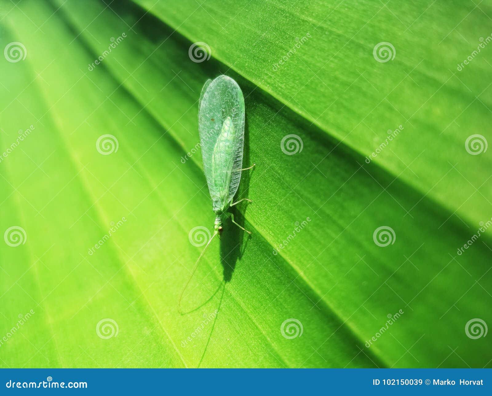 Zielony lacewing