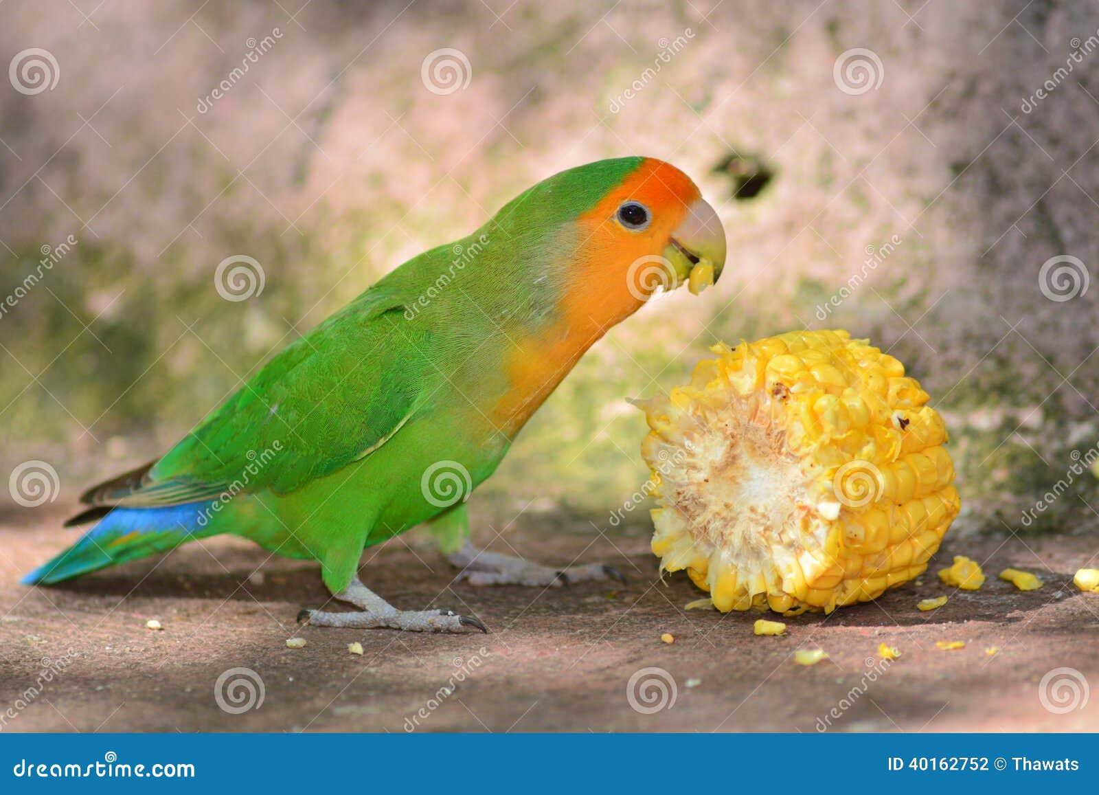 Zielony Lovebird