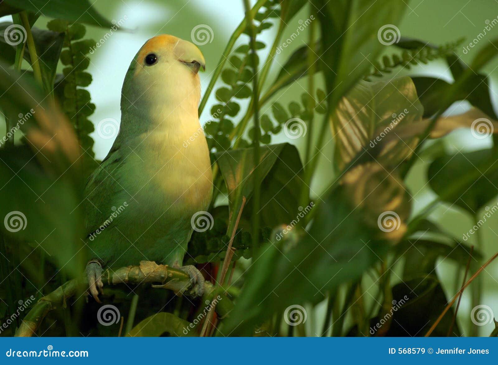 Zielony lovebird ulistnienia
