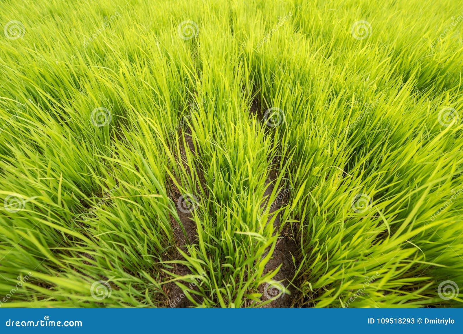Zielony Młody Rice pola irlandczyk bali Indonesia