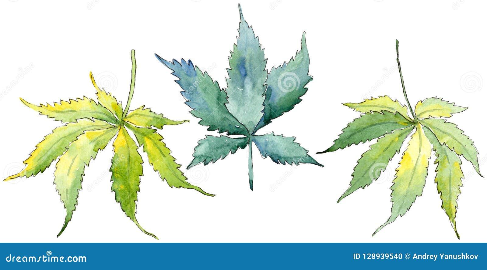 Zielony marihuana liść Liść rośliny ogródu botanicznego kwiecisty ulistnienie Odosobniony ilustracyjny element