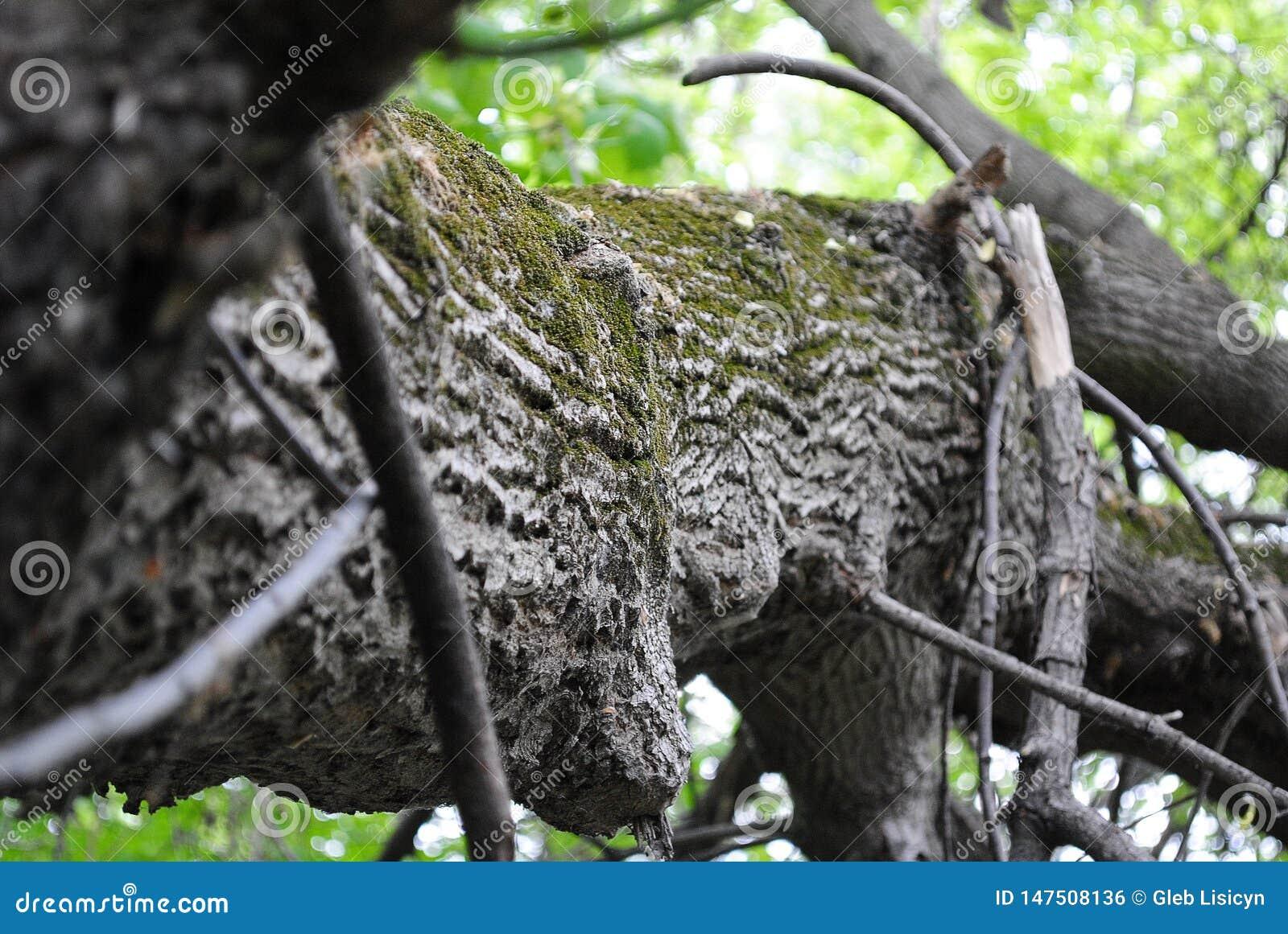Zielony mech na barkentynie drzewo