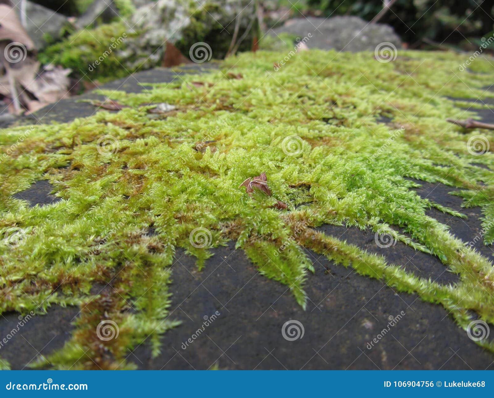 Zielony mech w naturze Szczegół mech zakrywający kamień