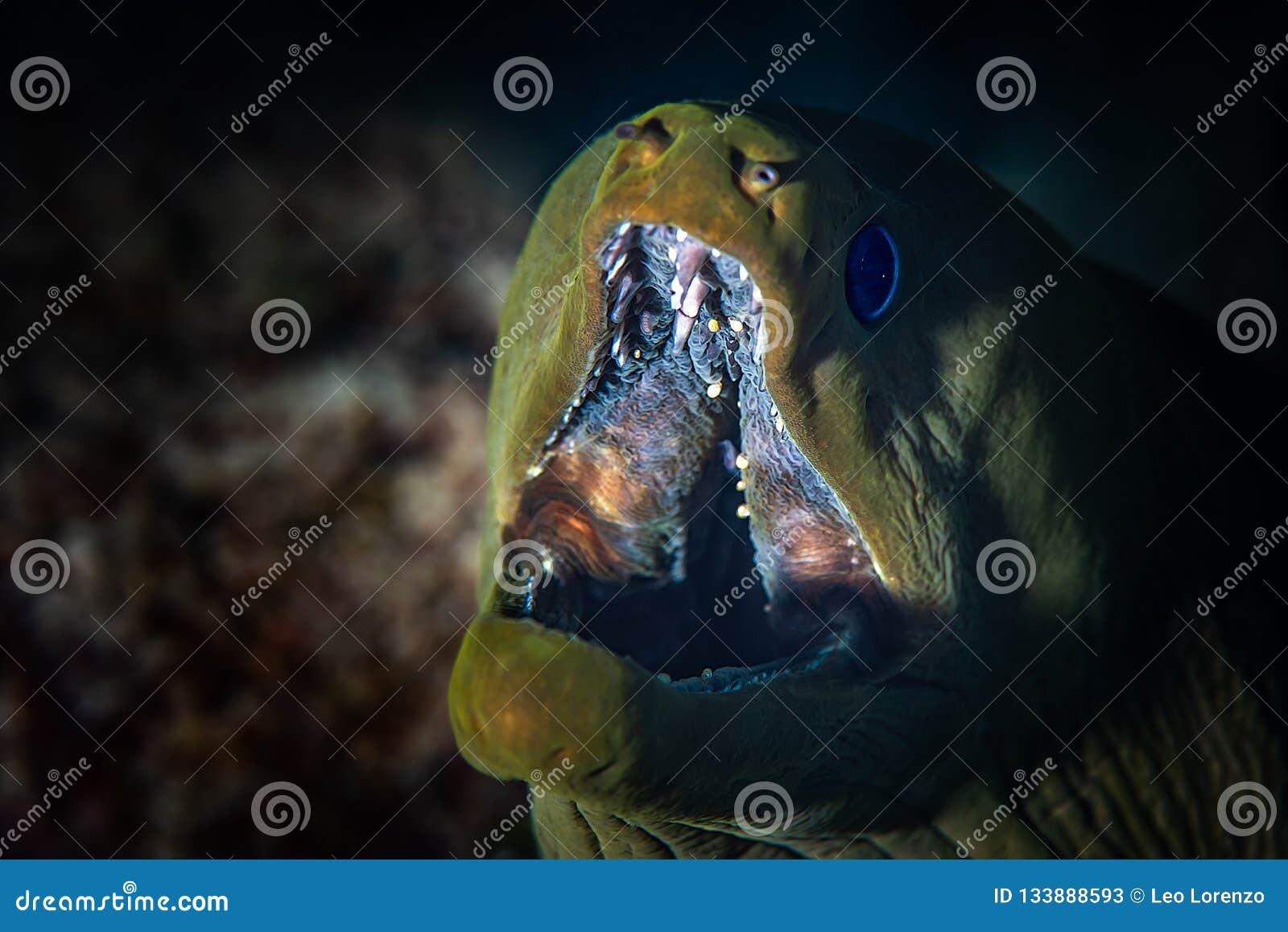Zielony murena węgorz w górę