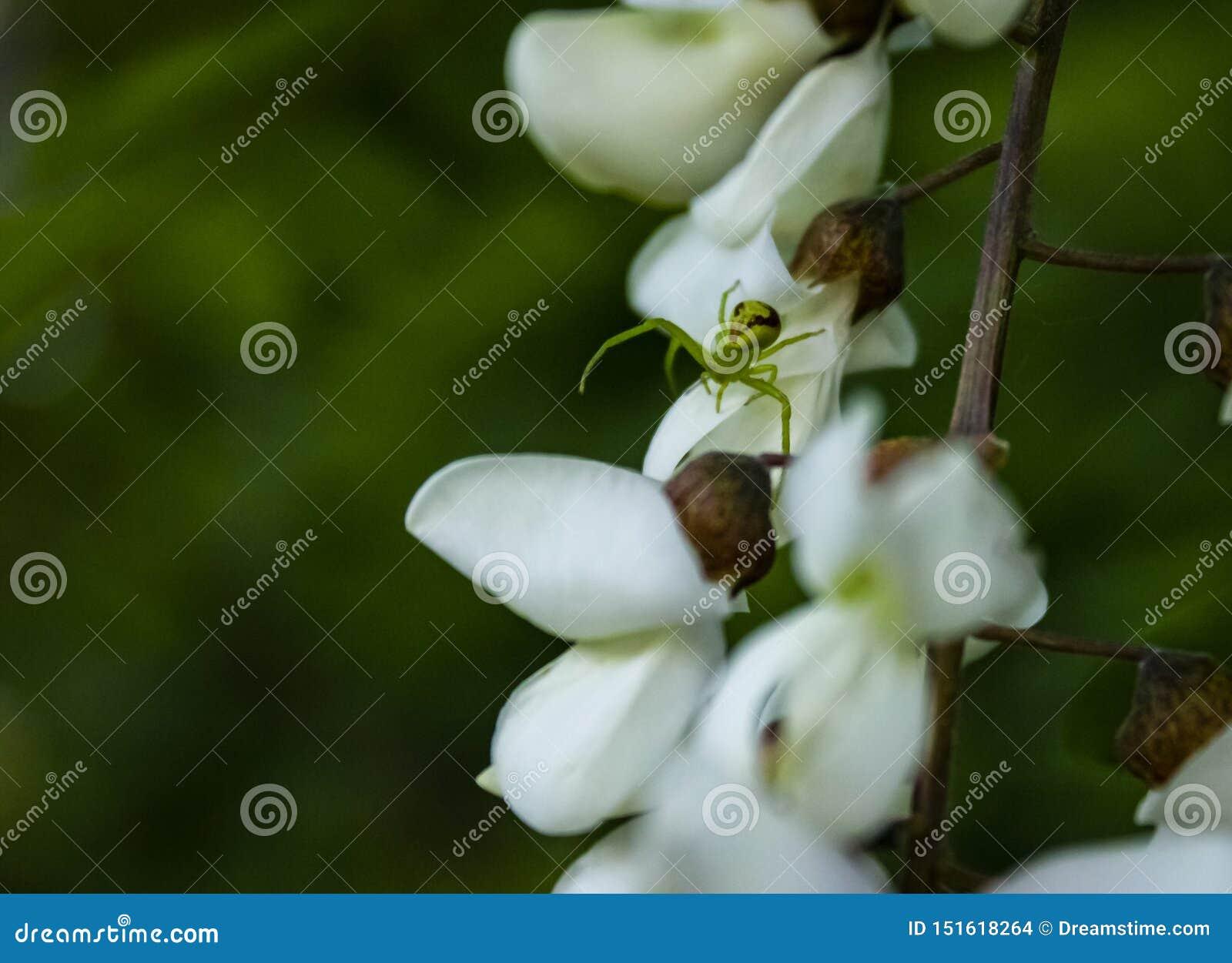 Zielony pająk na białych akacjowych kwiatach