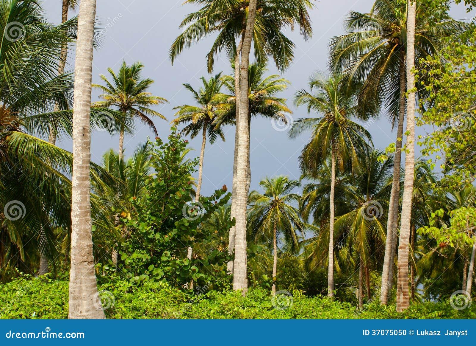 Download Zielony Palmowy Las W Kolumbijskiej Wyspie Mucura Zdjęcie Stock - Obraz złożonej z kolor, nikt: 37075050