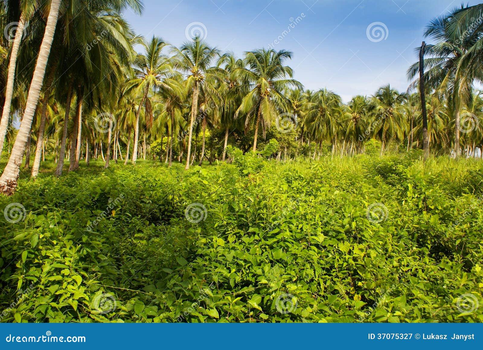 Download Zielony Palmowy Las W Kolumbijskiej Wyspie Mucura Obraz Stock - Obraz złożonej z rosario, morze: 37075327