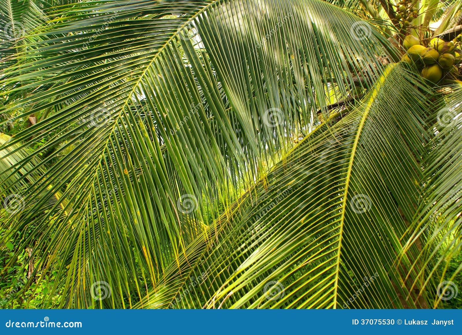 Download Zielony Palmowy Las W Kolumbijskiej Wyspie Mucura Zdjęcie Stock - Obraz złożonej z przejrzysty, wyspa: 37075530