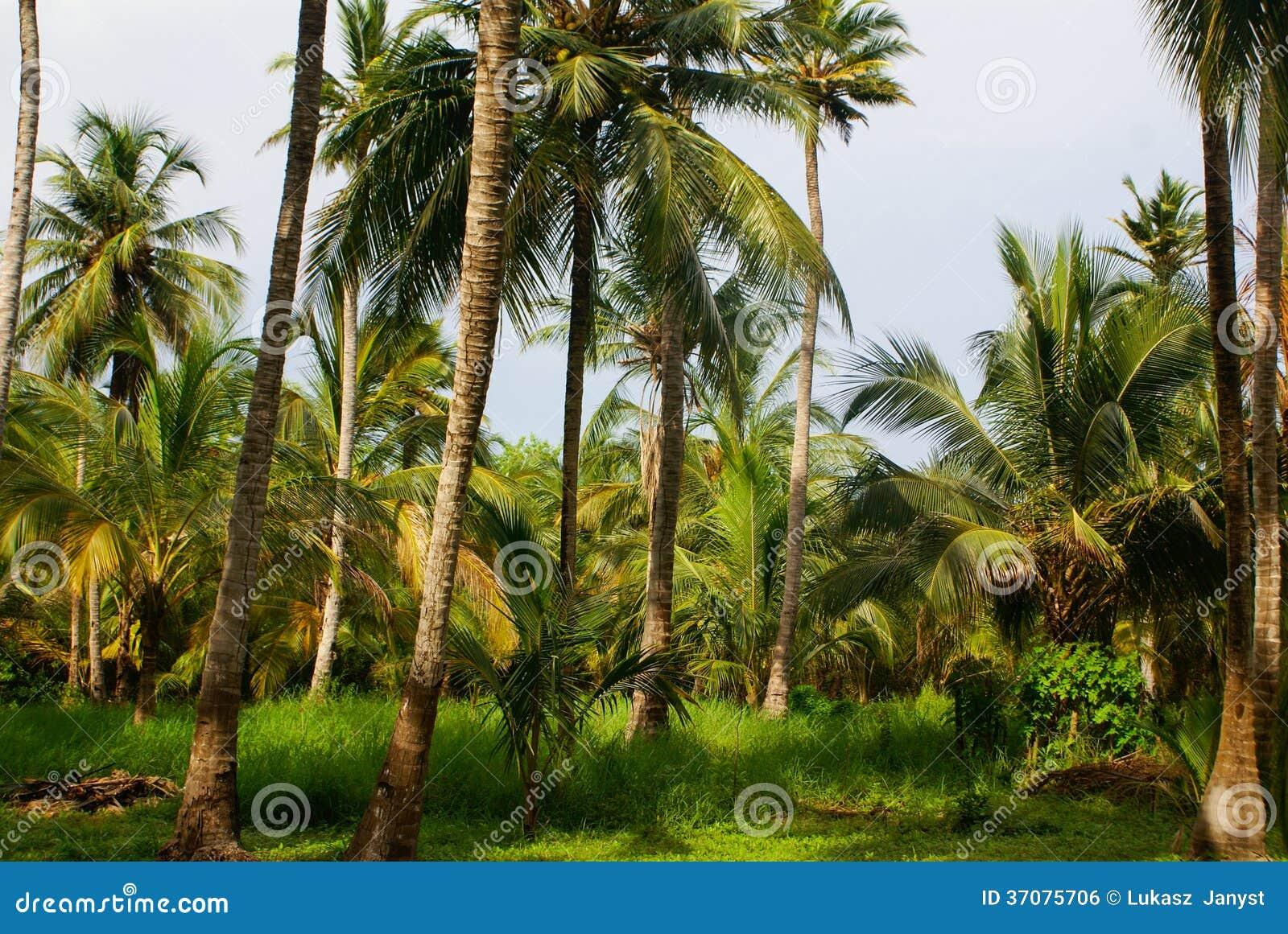Download Zielony Palmowy Las W Kolumbijskiej Wyspie Mucura Zdjęcie Stock - Obraz złożonej z caribbean, morze: 37075706