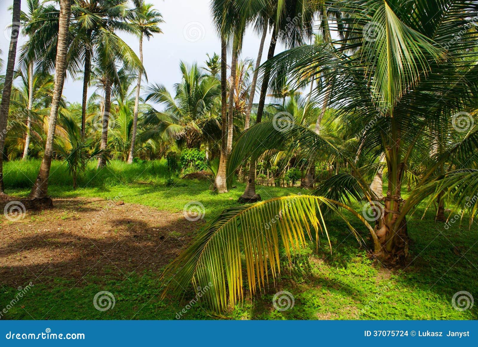 Download Zielony Palmowy Las W Kolumbijskiej Wyspie Mucura Zdjęcie Stock - Obraz złożonej z koks, caribbean: 37075724